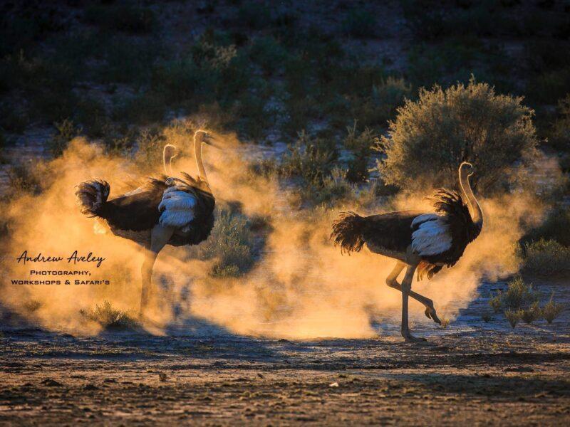 Ostrich Sunset Dance